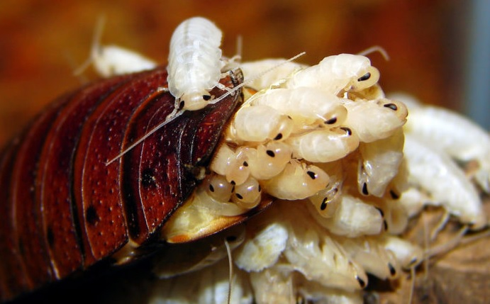 Pictures of Baby Roaches