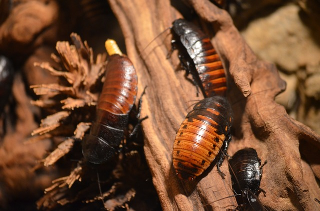 Reproduction of cockroaches