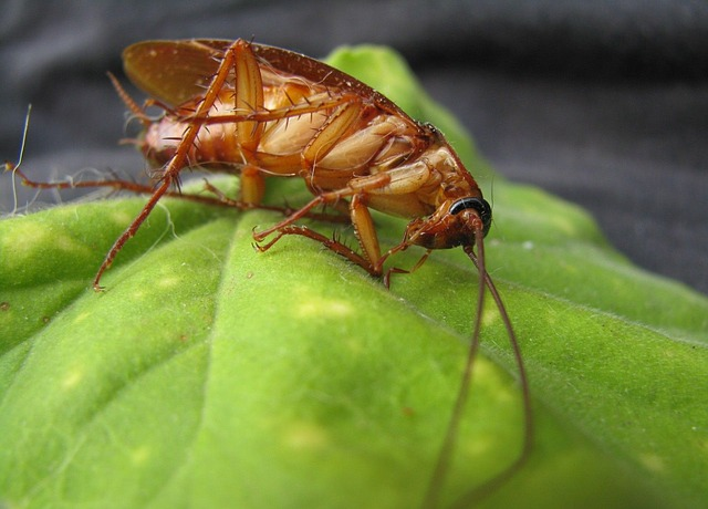Difference between roaches and crickets
