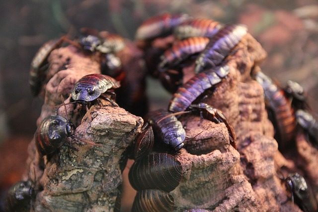 how long can a cockroach survive without food